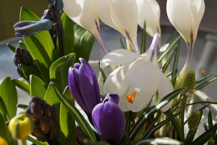 Frühjahrsblumen °Krokusse