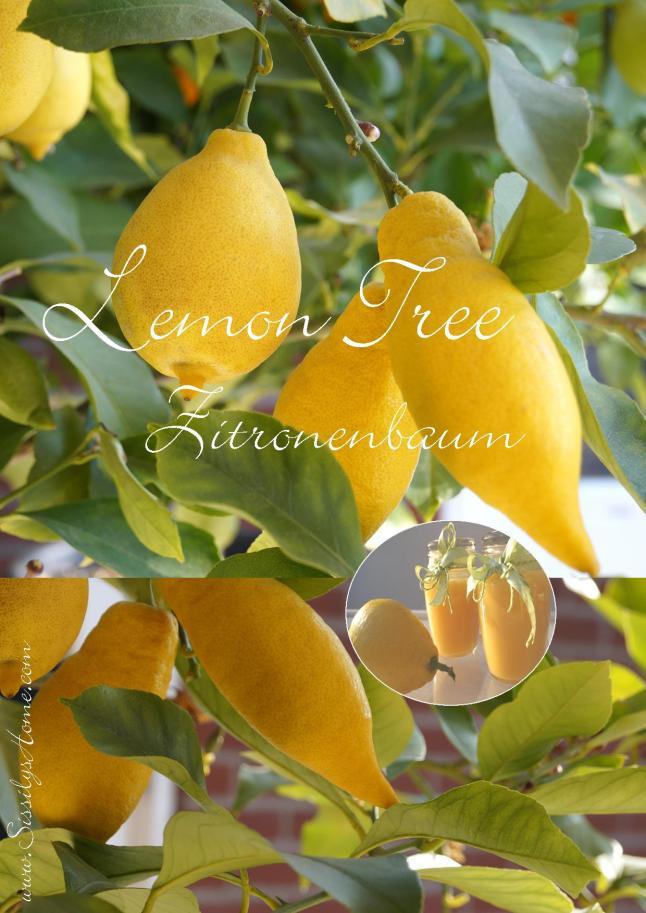 Lemon Tree °Zitronenbaum