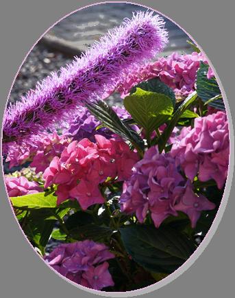 Bauerhortensie & Prachtscharte violett