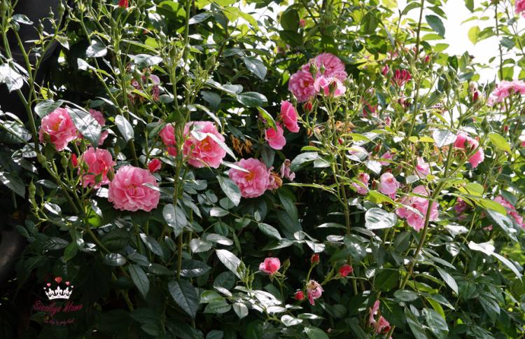 Kletterrose °Camelot, pink-dunkelrosa Züchter Tantau 2011