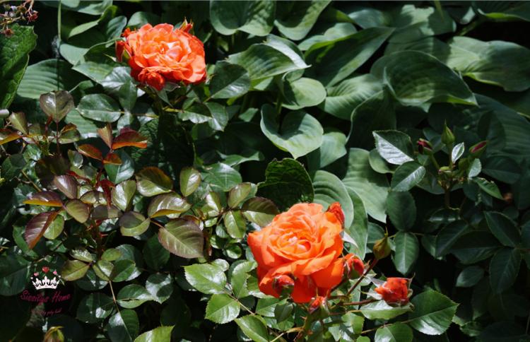 Schloss Beetrose, kräftiges orange- Züchter Poulsen Roser A/S (Name der Rose unbekannt, evtl. Popular)