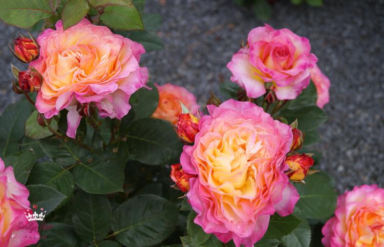 Edelrose Gorgeous, apricot-gelb-rosa - Züchter Poulsen 2012