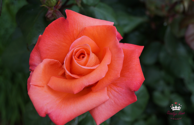 Strauchrose, orange, Name unbekannt