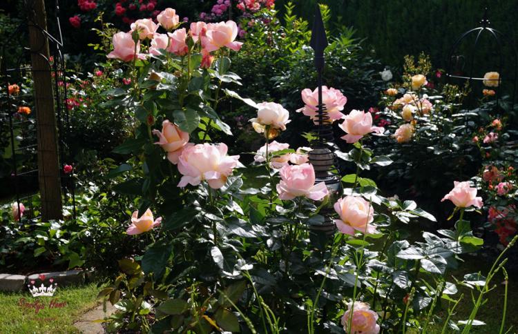 Strauchrose °Isabelle, rosa-aprikotAutissier - Züchter Nirp (Duftrose)