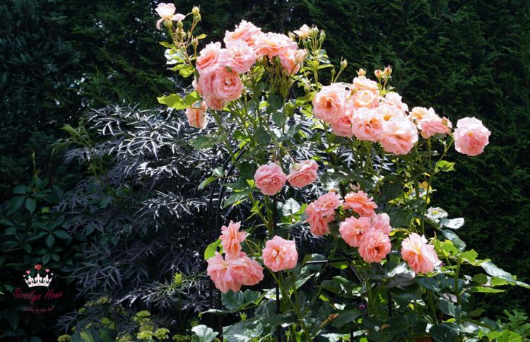 Strauchrose °Bonita, lachs-hellorange - Züchter Poulsen Roser A/S (Duftrose)
