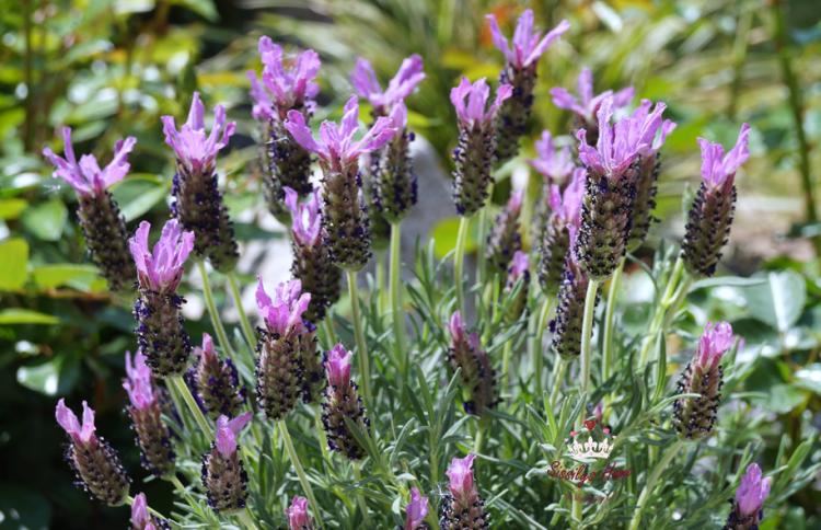 Schopf-Lavendel - Familie der Lippenblütler