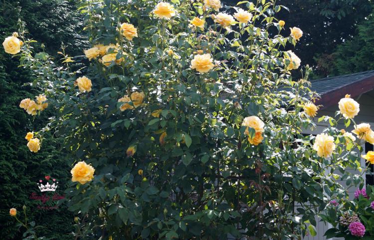 Kletterrose °Sophia - Renaissance Züchter Poulen 002 (Duftrose)