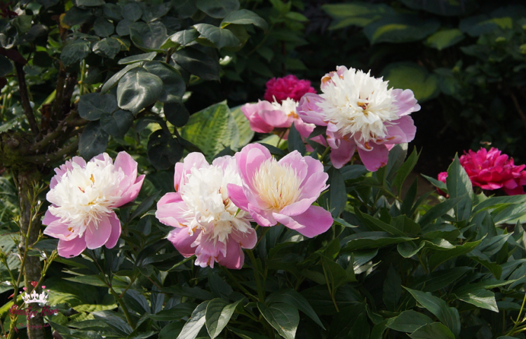 Pfingstrose Paeonia x lactiflora °Bowl of Beauty, rosa