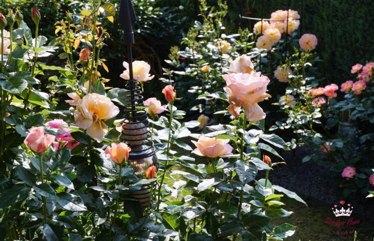 Strauchrose °Autissier Isabelle, rosa-aprikot - Züchter Nirp (Duftrose)