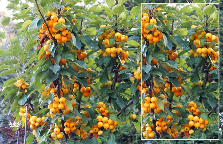 Zierapfel Malus °Golden Hornet - Blütenfarbe weißrosa - Wuchs buschig - Wuchshöhe 4 - 5 m - Wuchsbreite 2 - 3 m