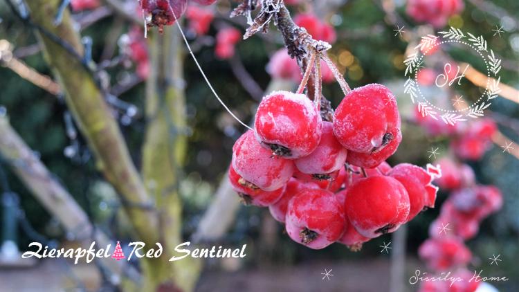 Zierapfel Red Sentinel im Eismantel